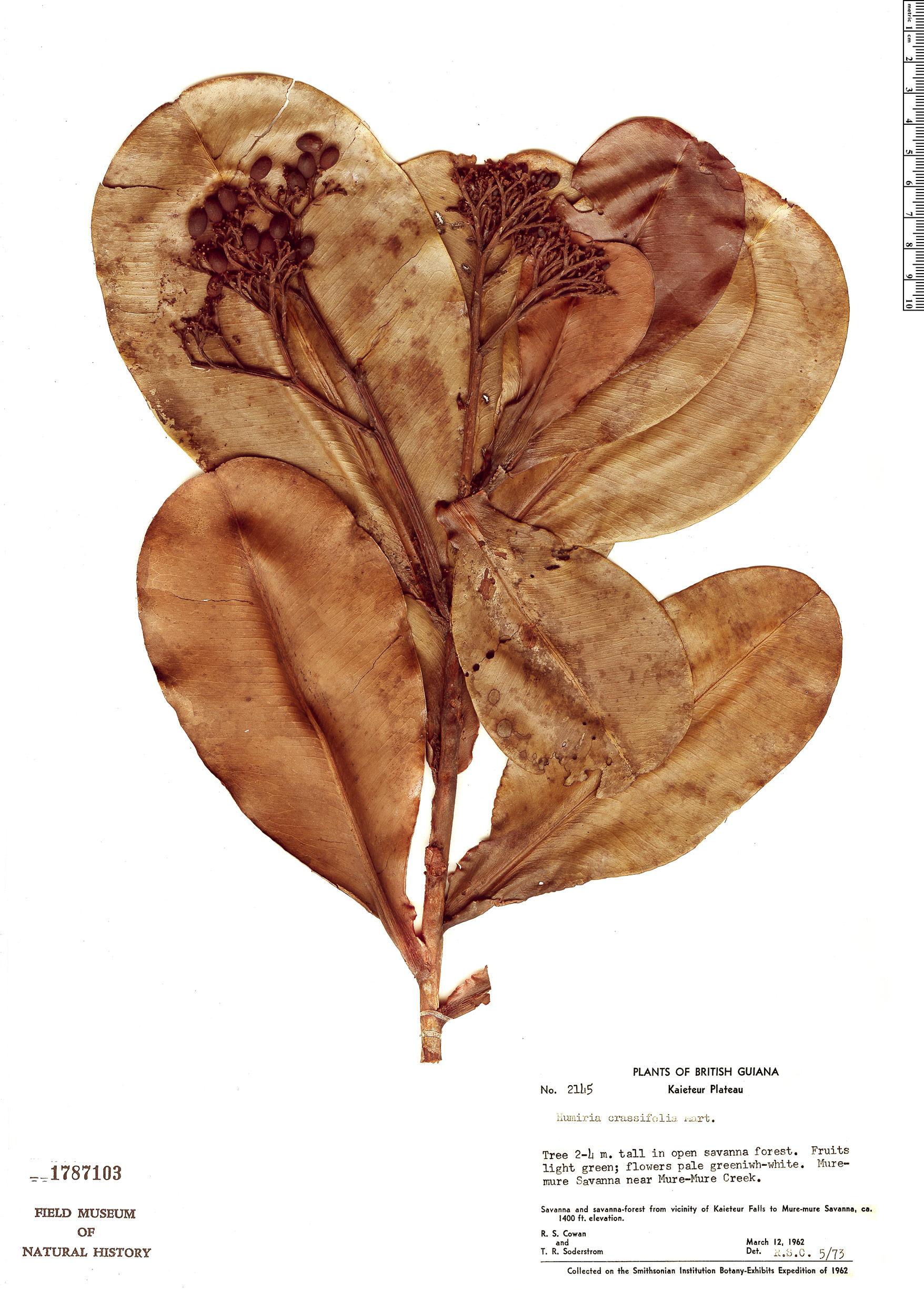 Specimen: Humiria crassifolia