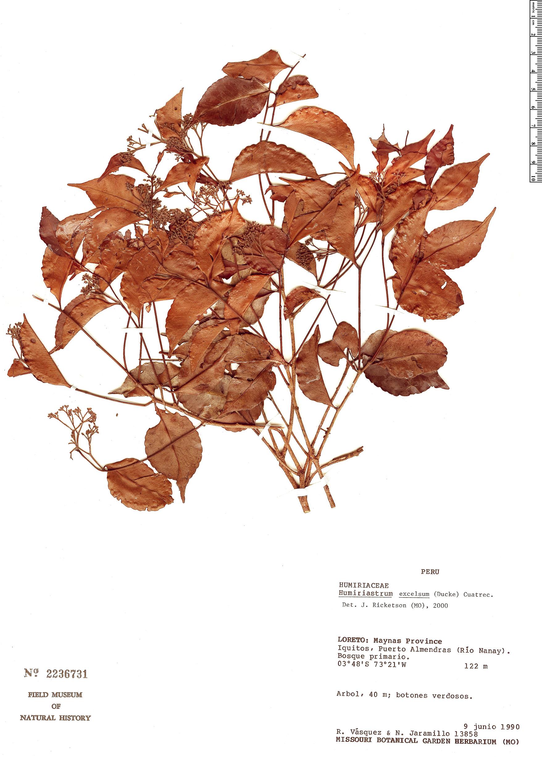 Specimen: Humiriastrum excelsum
