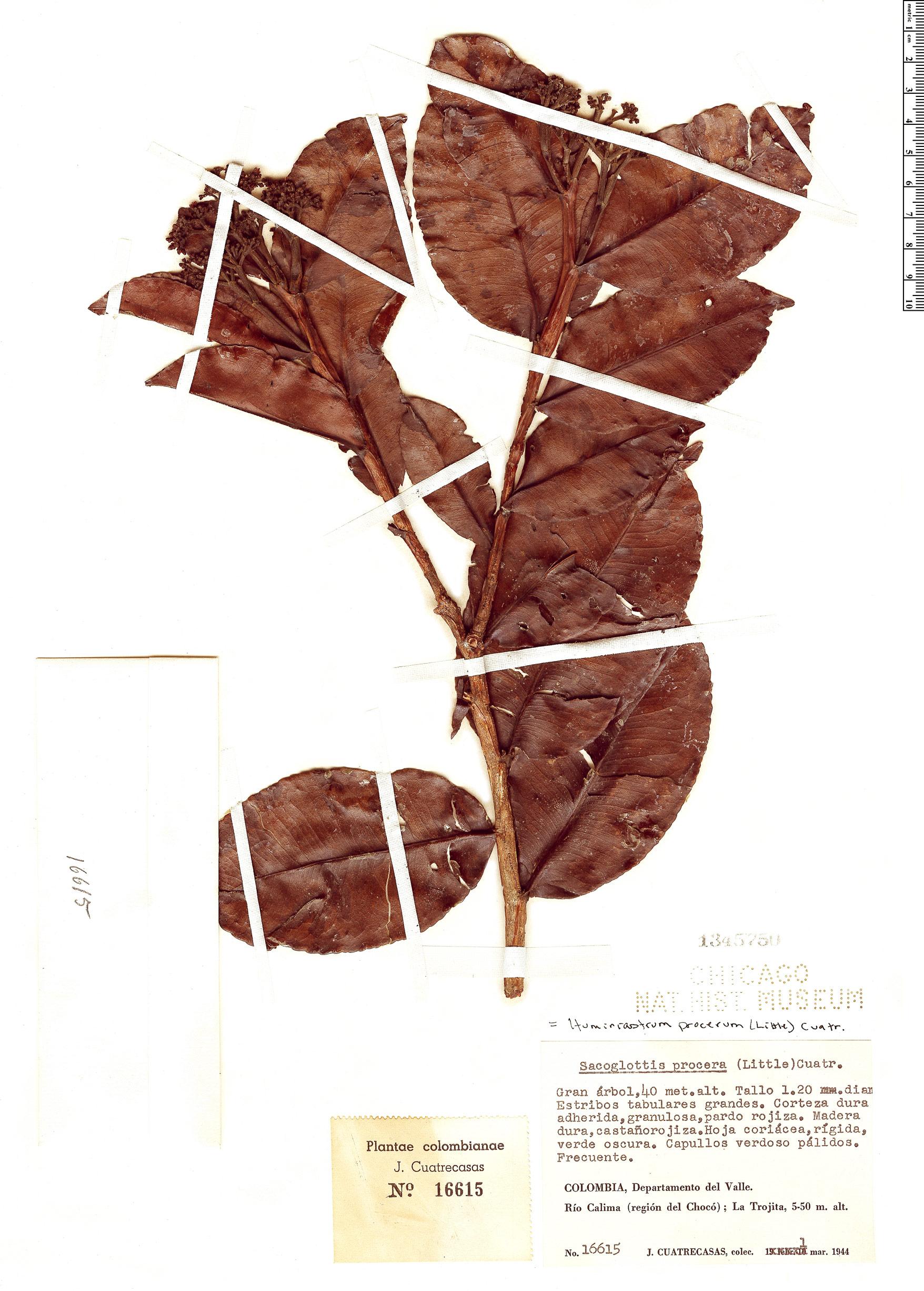 Espécimen: Humiriastrum procerum