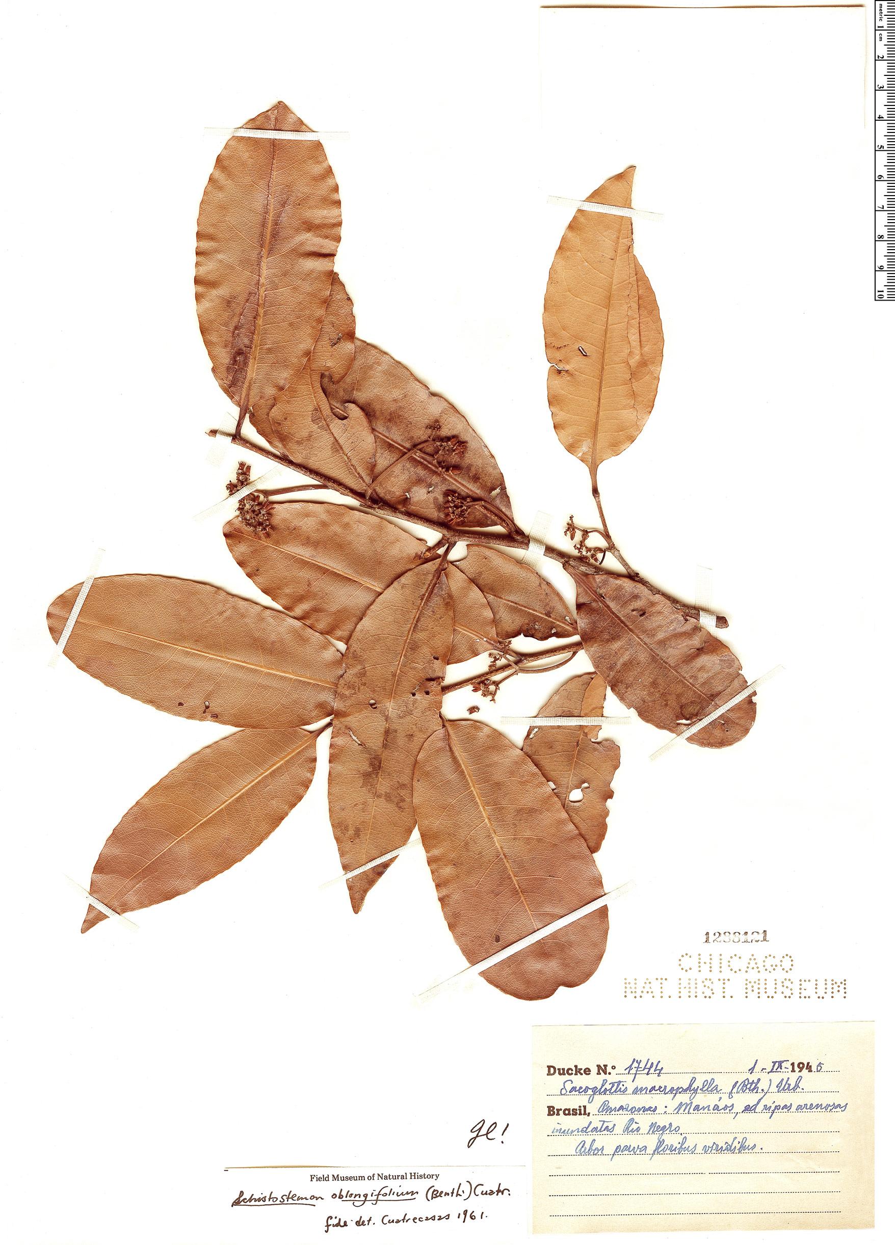 Specimen: Schistostemon oblongifolius