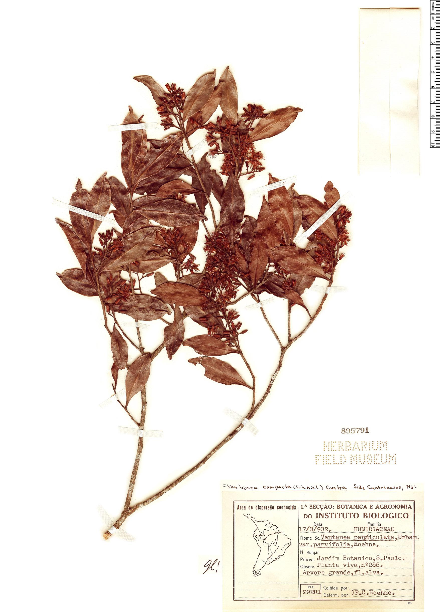 Specimen: Vantanea compacta
