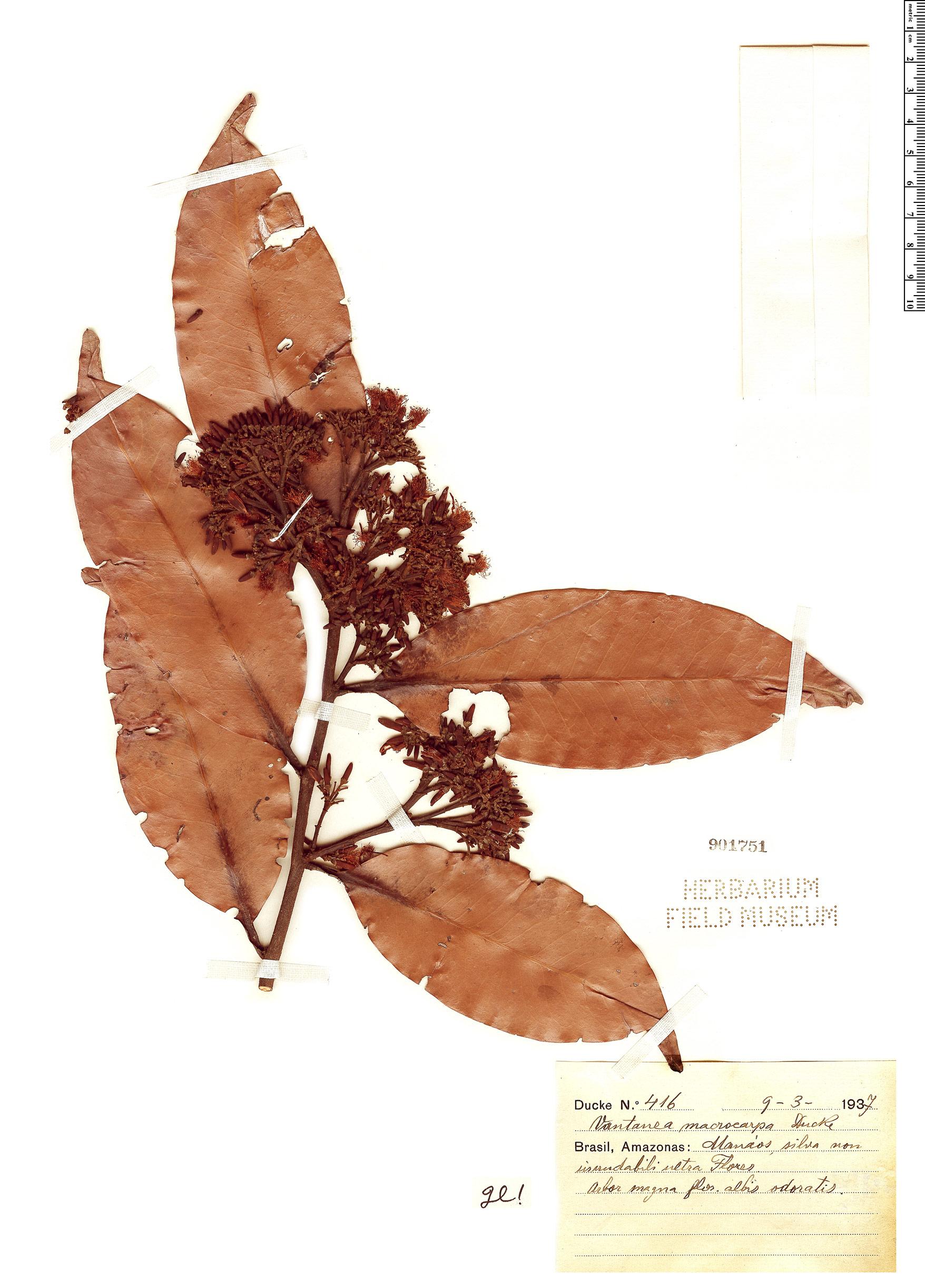 Specimen: Vantanea macrocarpa
