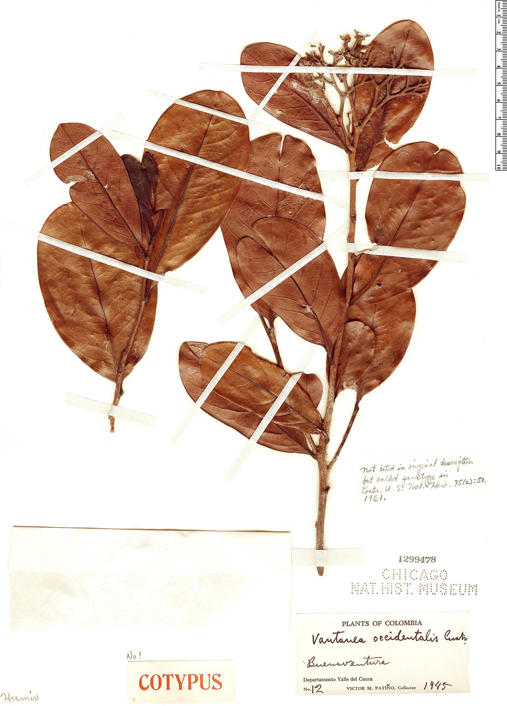 Specimen: Vantanea occidentalis