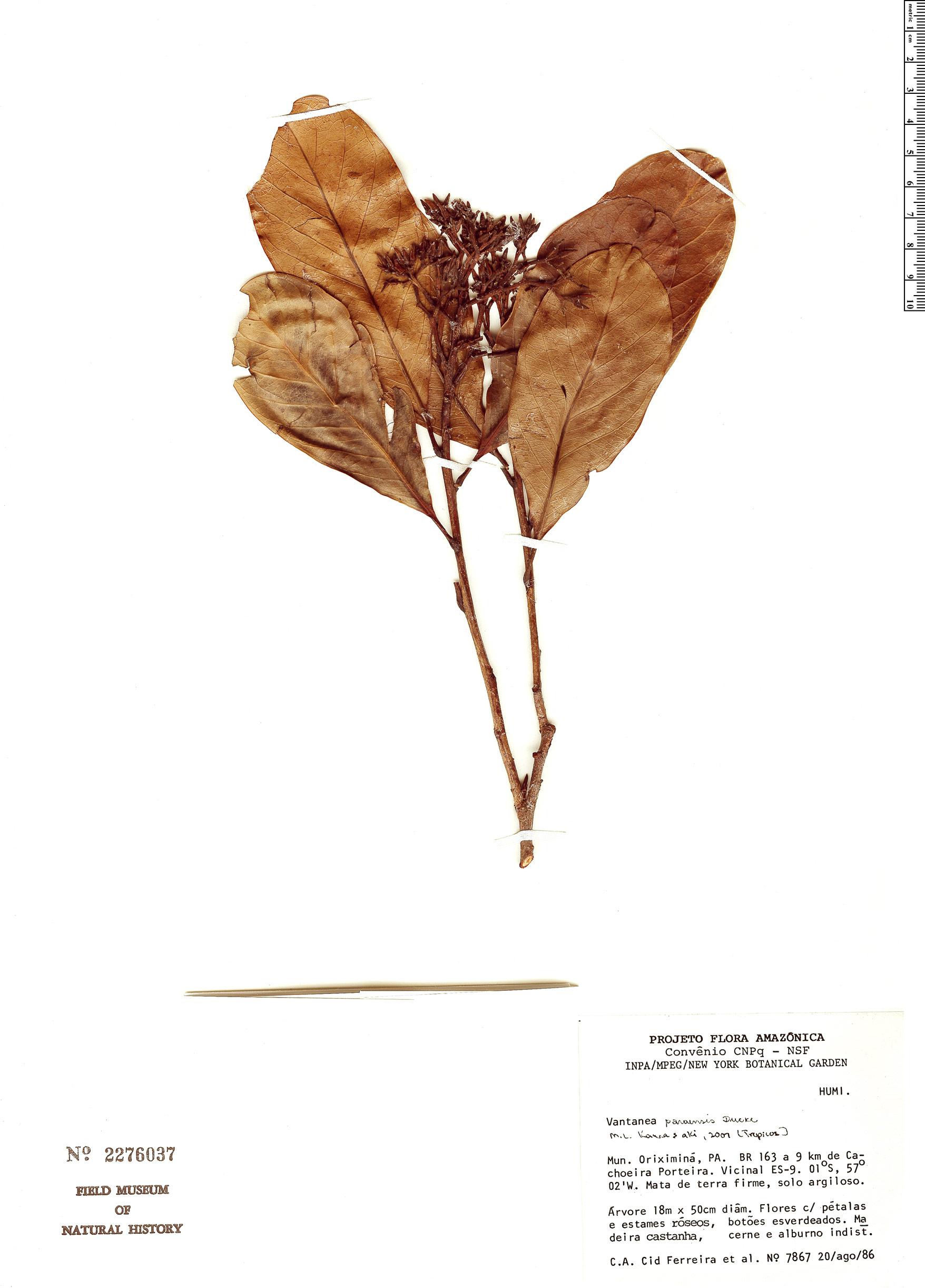 Specimen: Vantanea paraensis