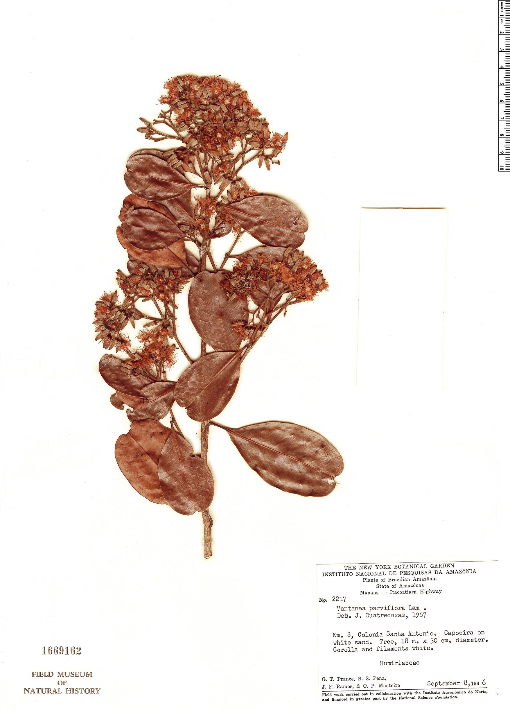 Specimen: Vantanea parviflora