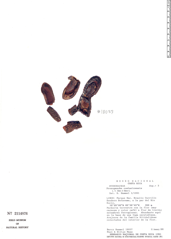 Specimen: Prosopanche costaricensis