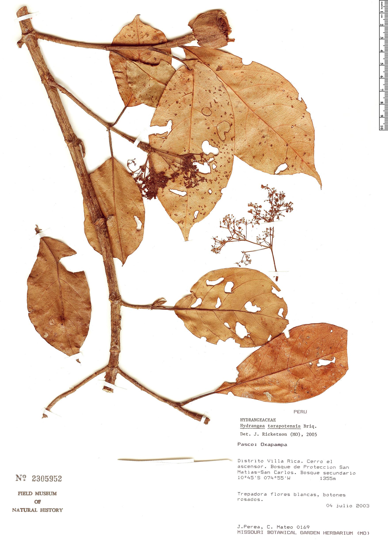 Specimen: Hydrangea tarapotensis