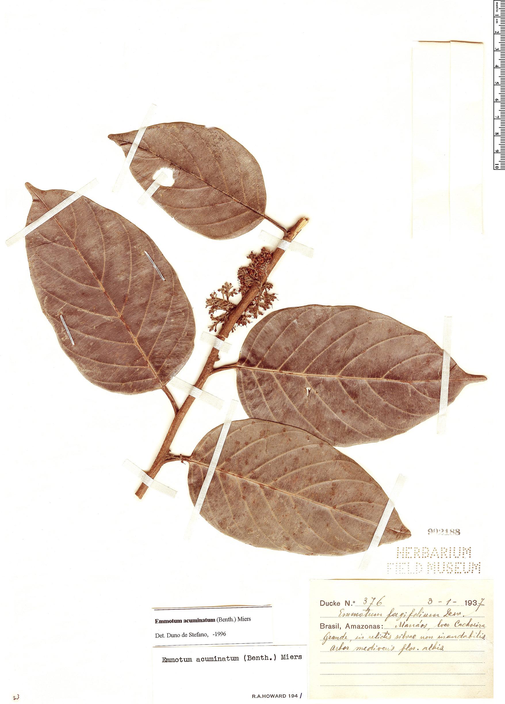 Specimen: Emmotum acuminatum