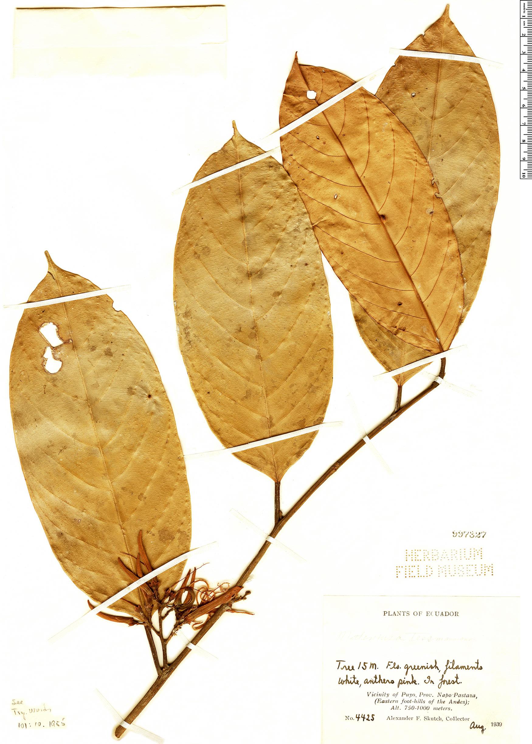 Specimen: Metteniusa tessmanniana