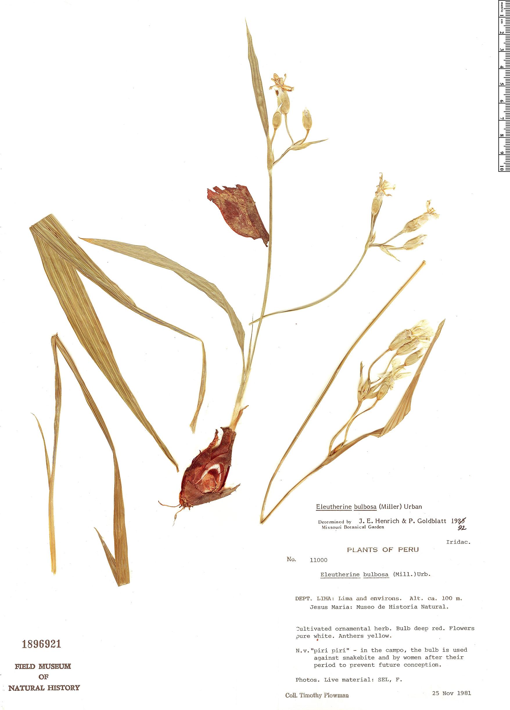 Espécime: Eleutherine bulbosa