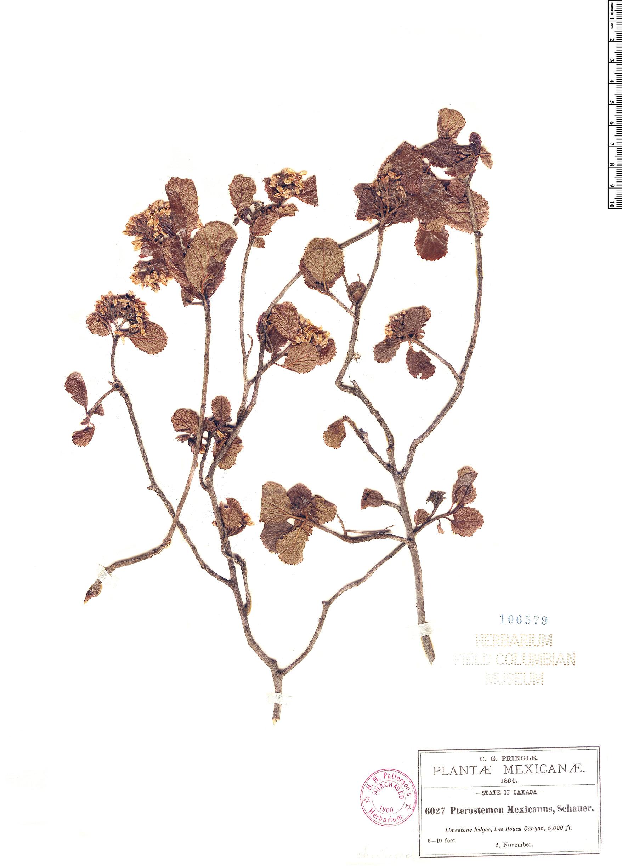 Specimen: Pterostemon mexicanus