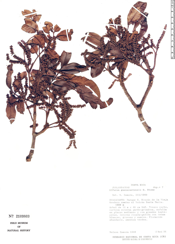 Specimen: Alfaroa guanacastensis