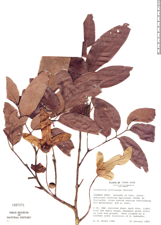 Specimen: Oreomunnea pterocarpa