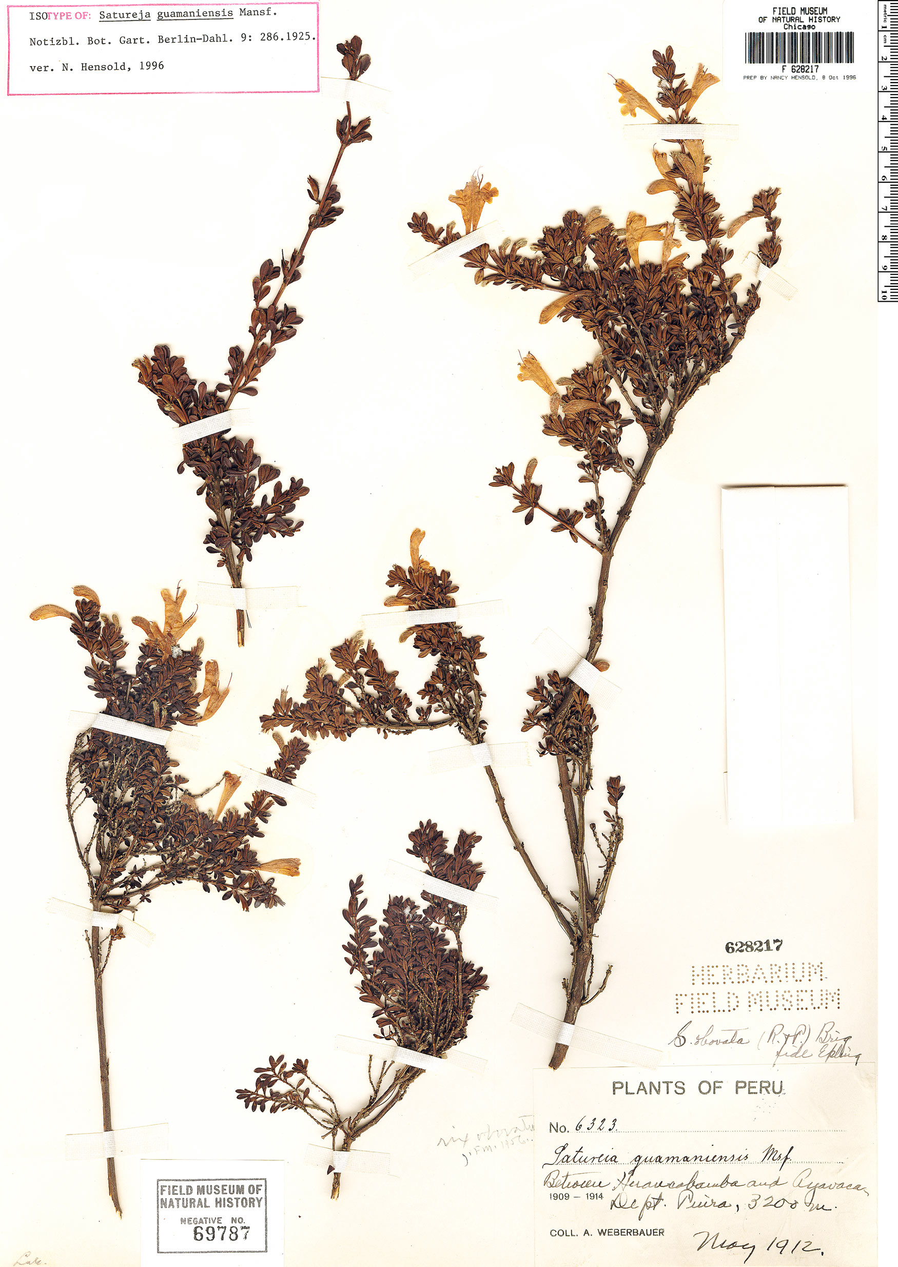 Specimen: Clinopodium obovatum