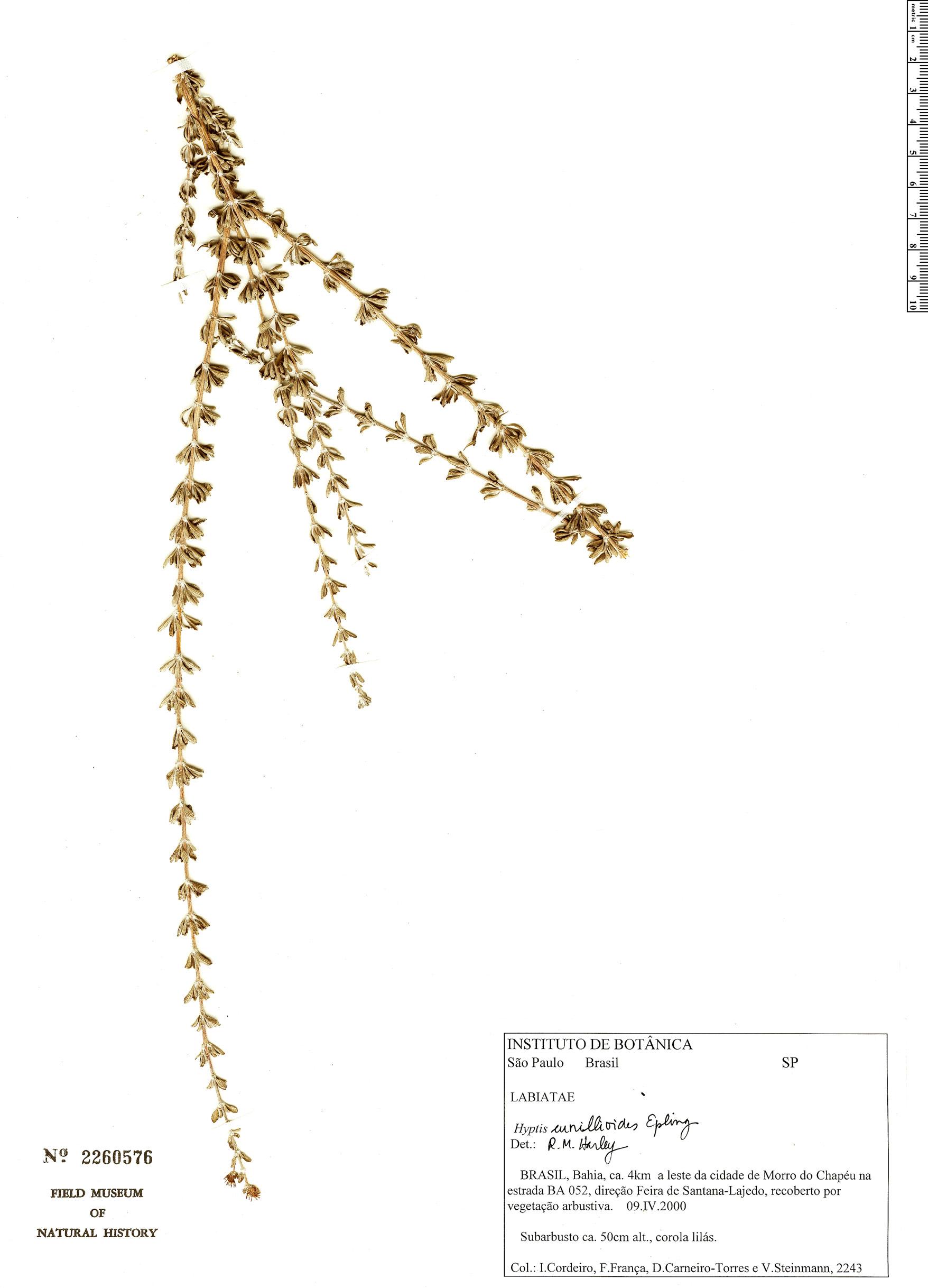 Specimen: Eplingiella cuniloides