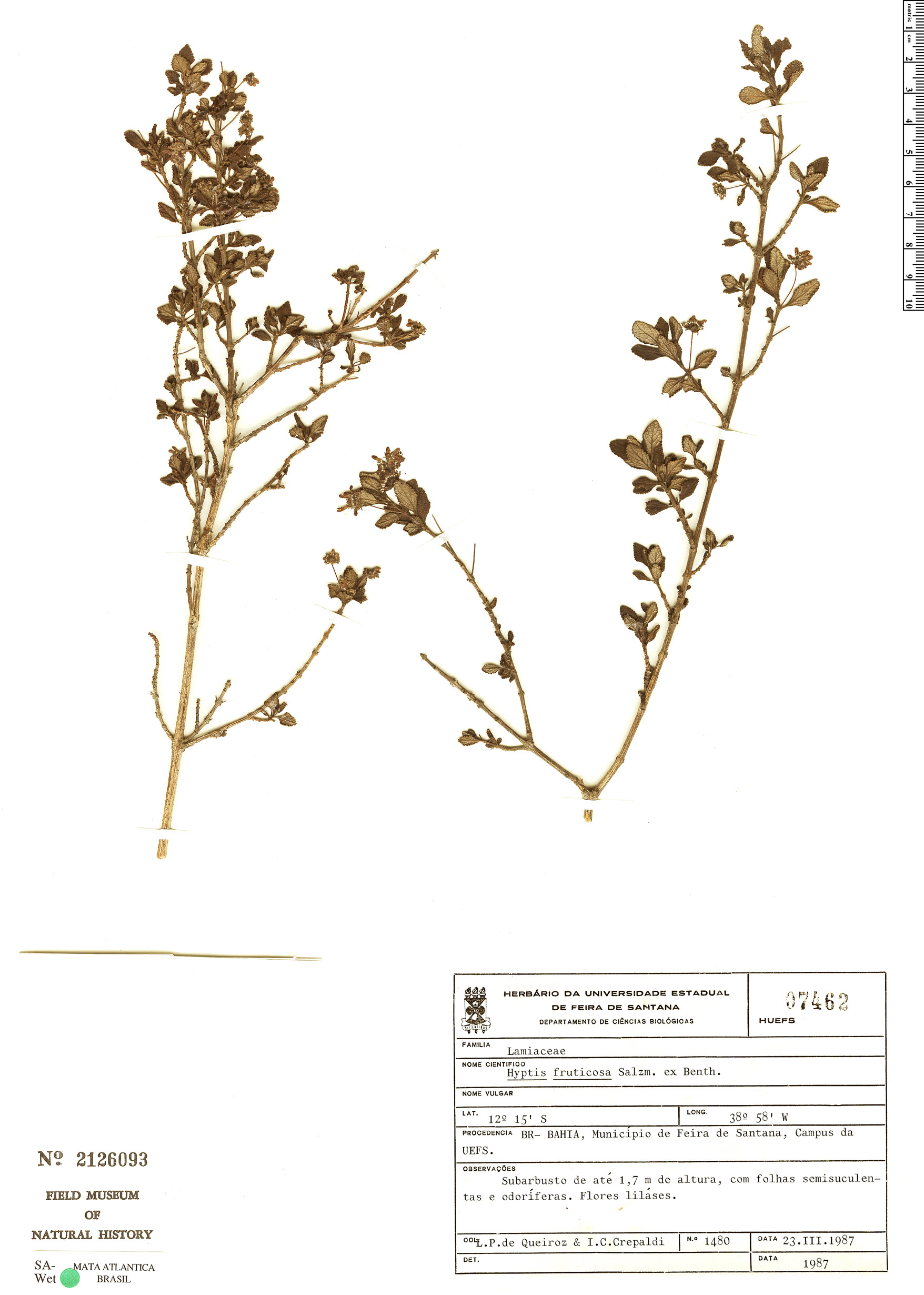 Specimen: Eplingiella fruticosa