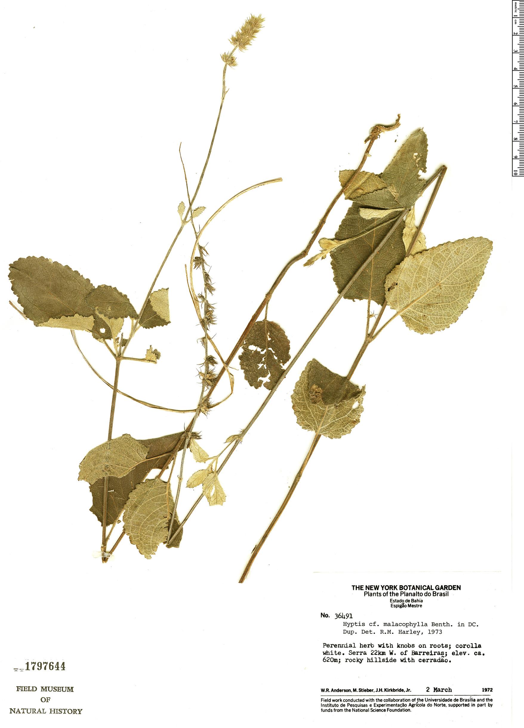Espécime: Gymneia malacophylla