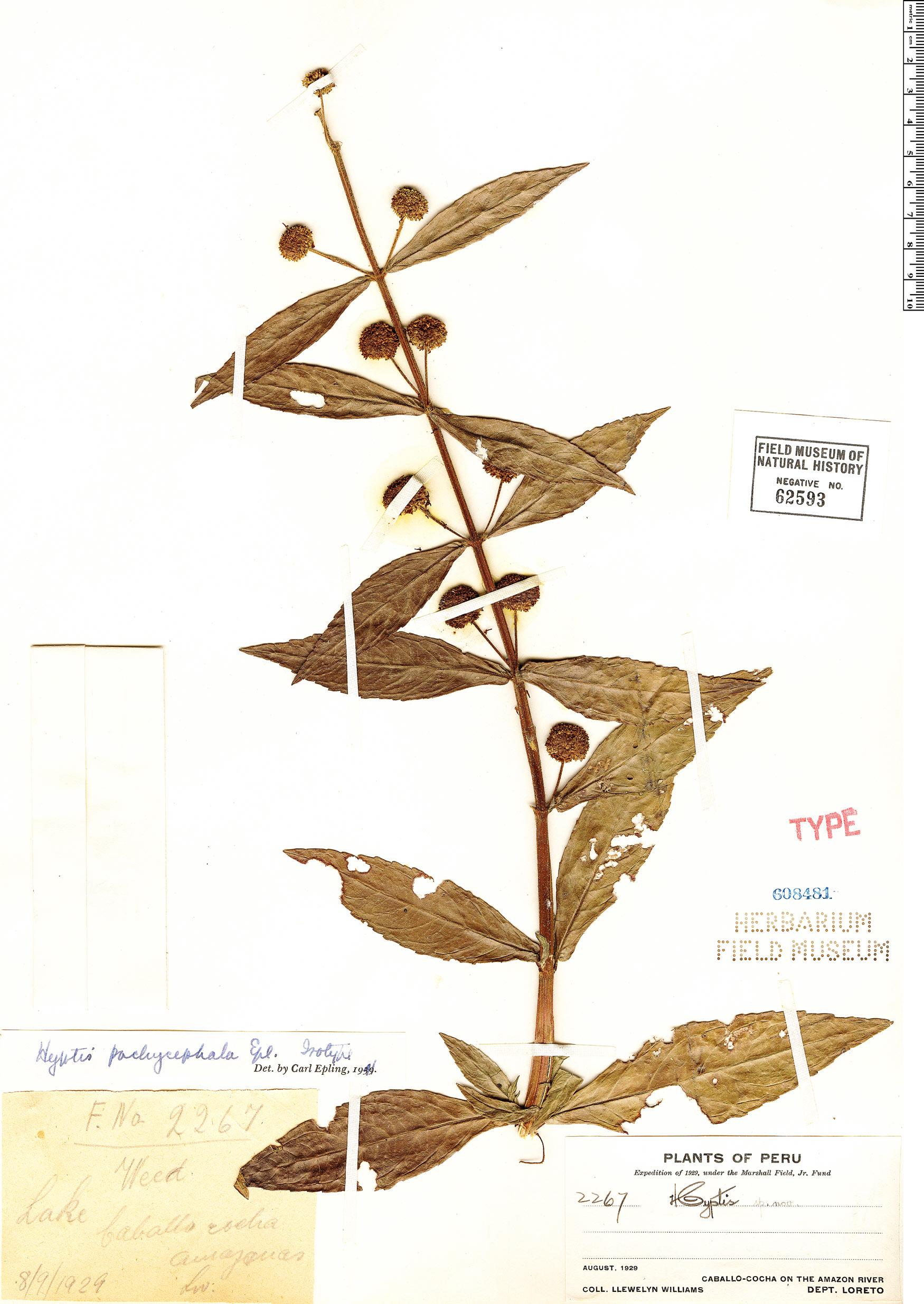 Specimen: Hyptis pachycephala