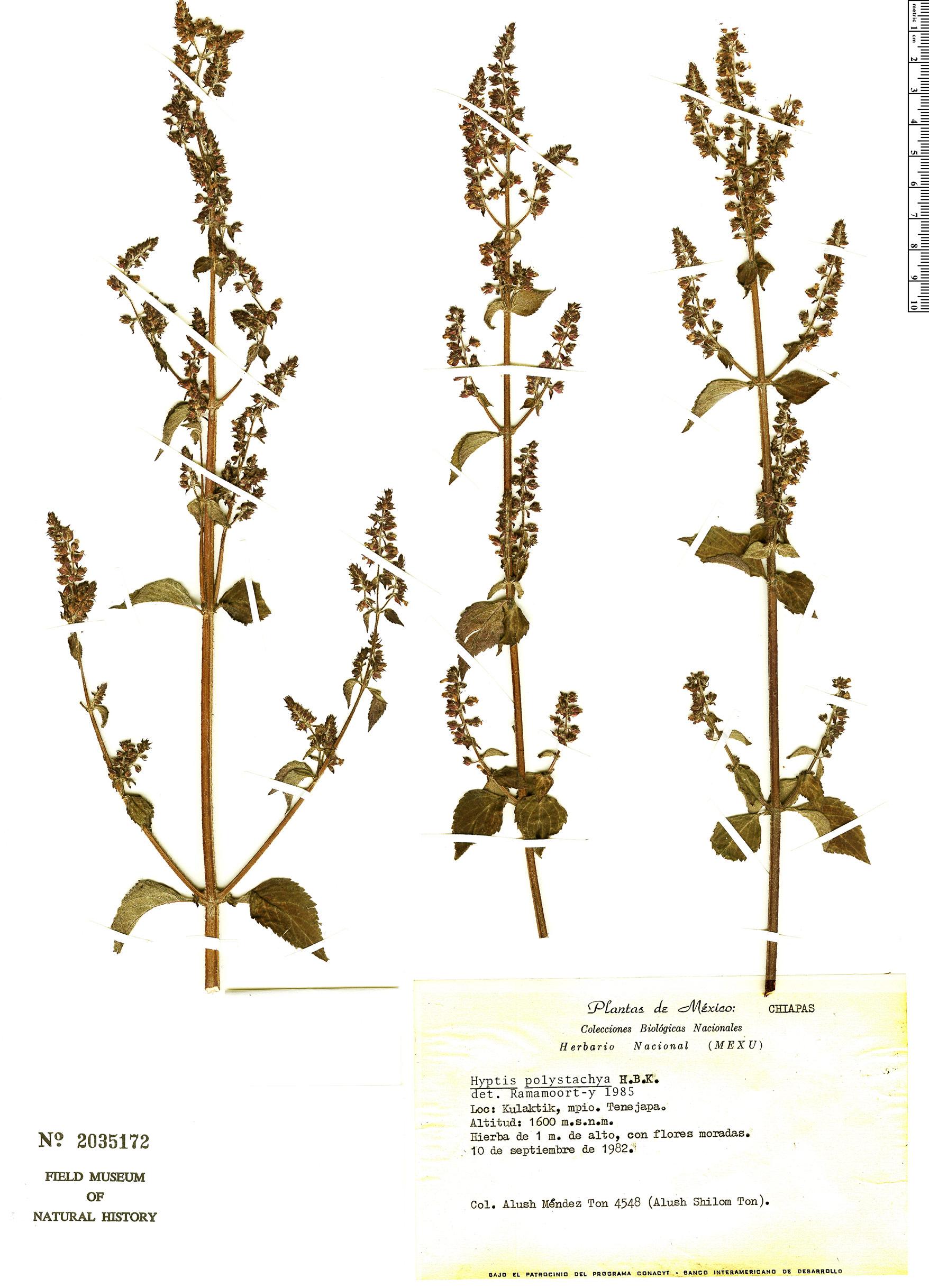 Specimen: Cantinoa mutabilis