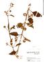 Hyptis rhomboidea image