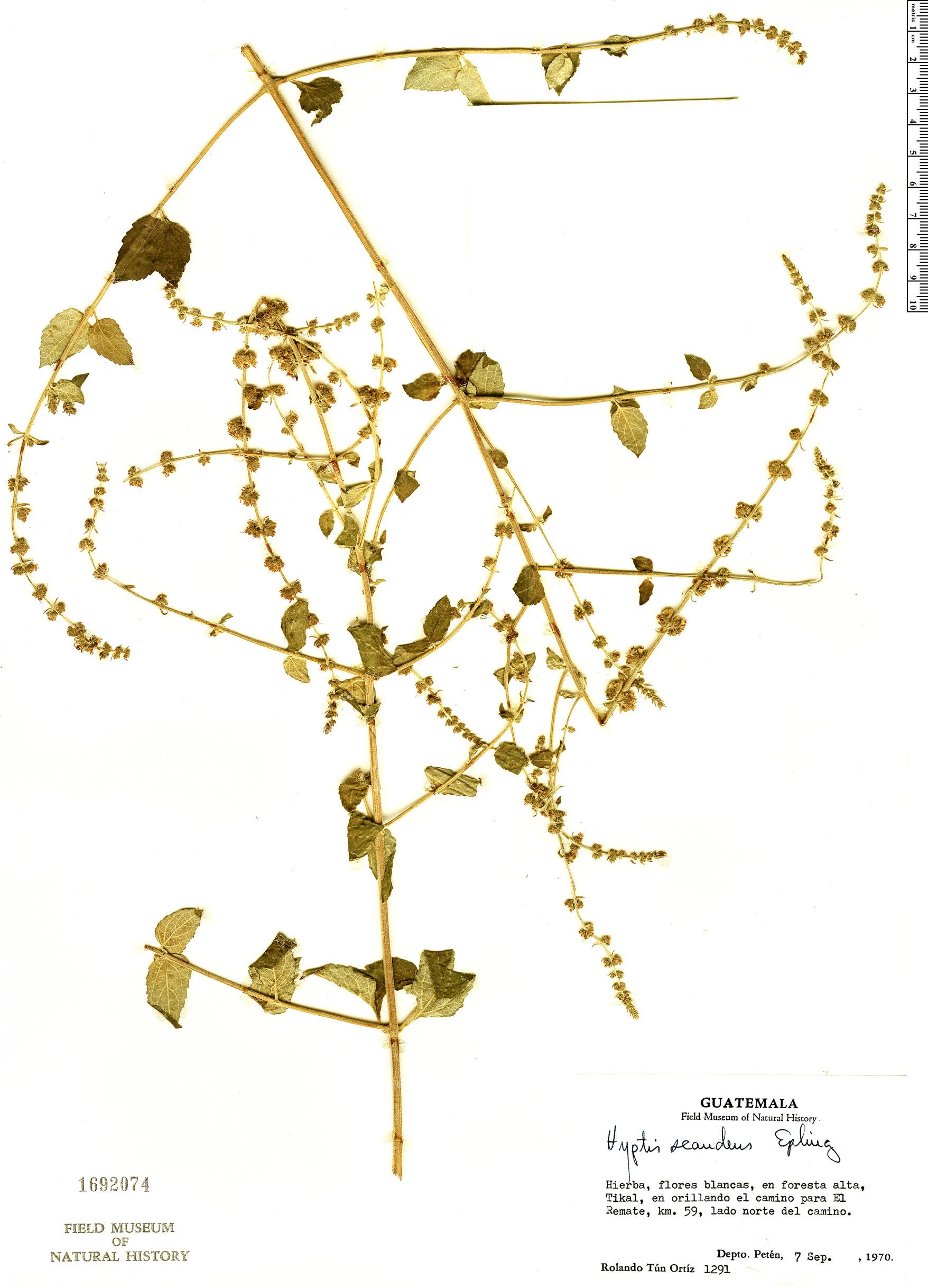 Specimen: Condea scandens