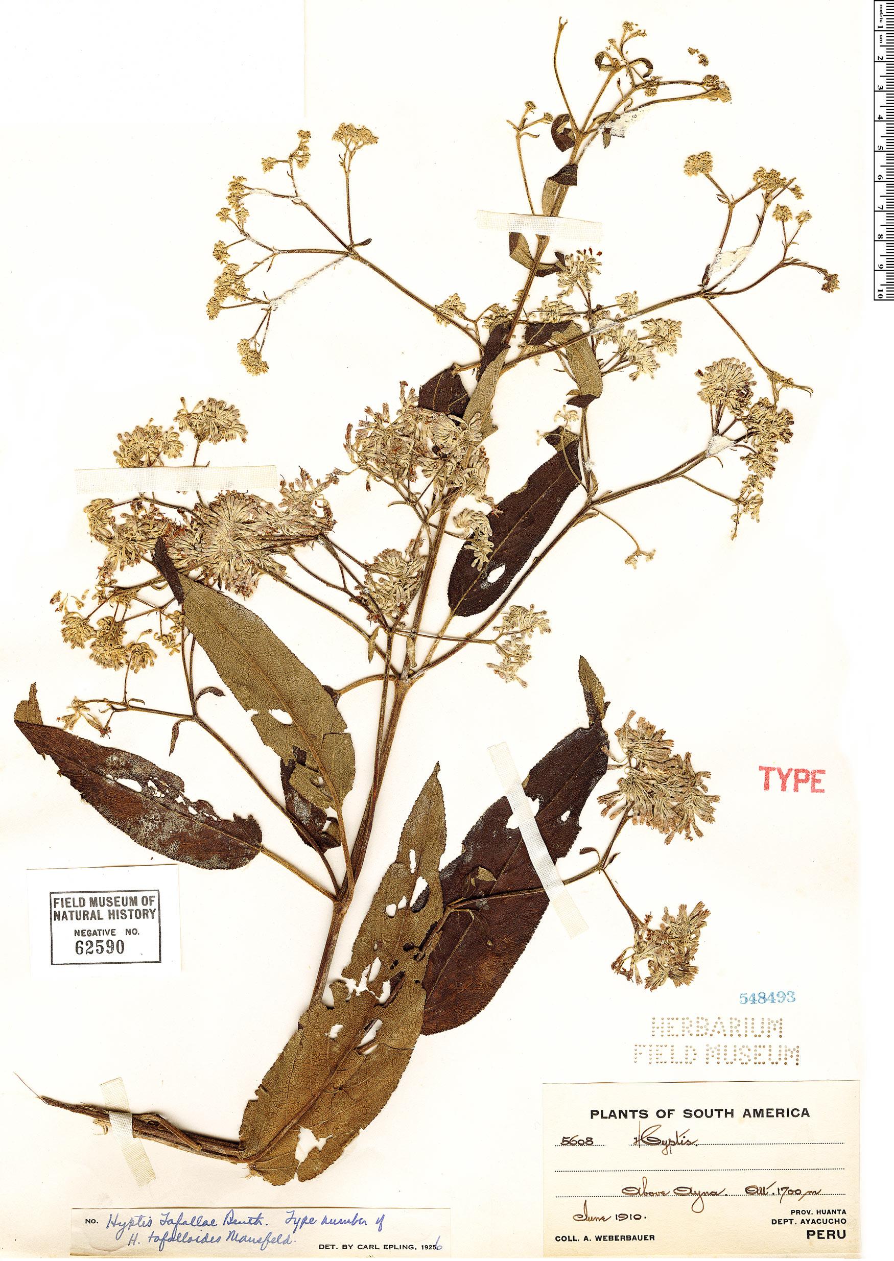 Specimen: Condea tafallae