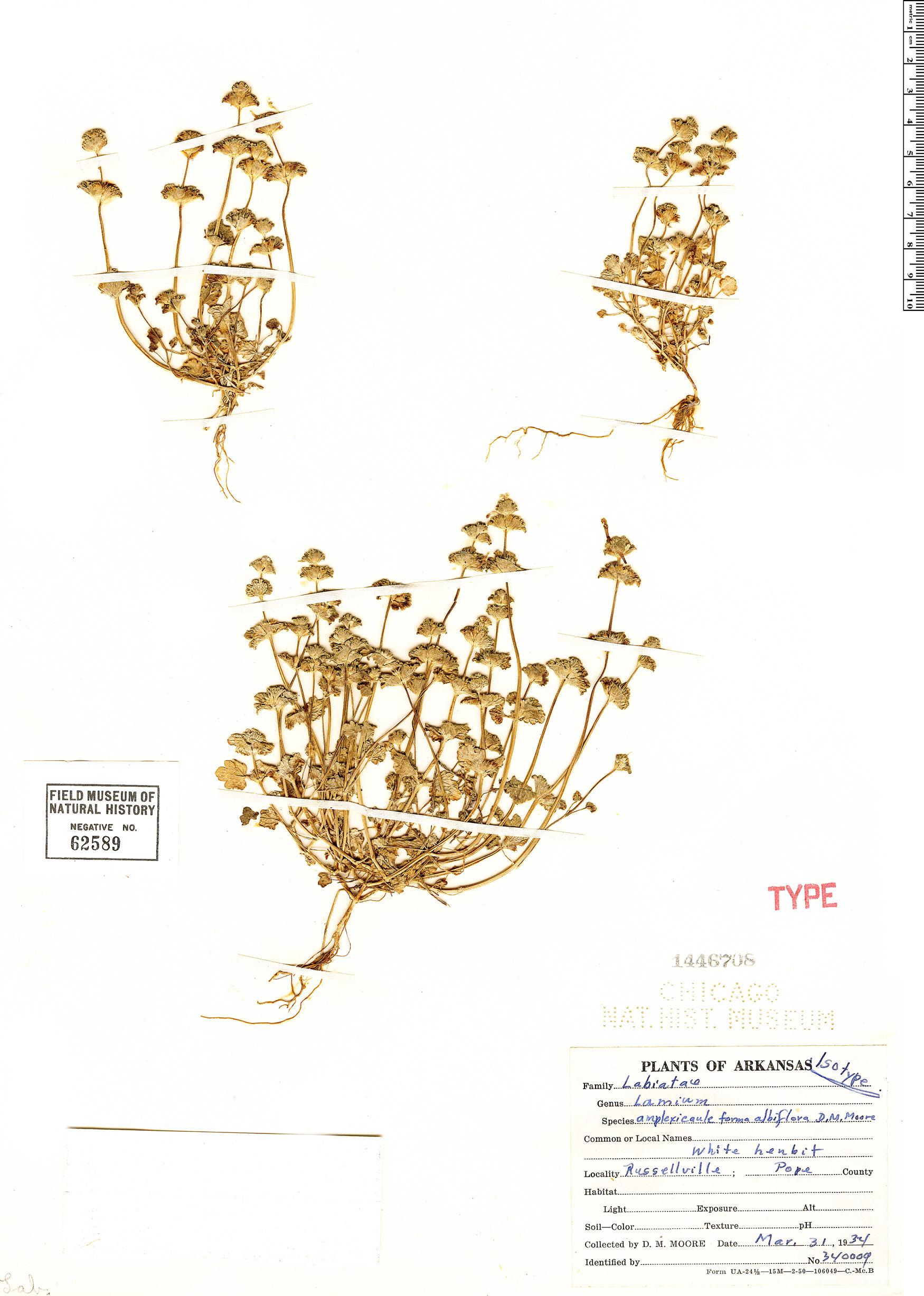 Specimen: Lamium amplexicaule
