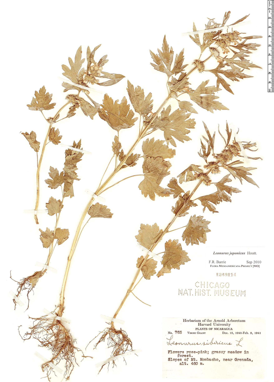 Specimen: Leonurus japonicus