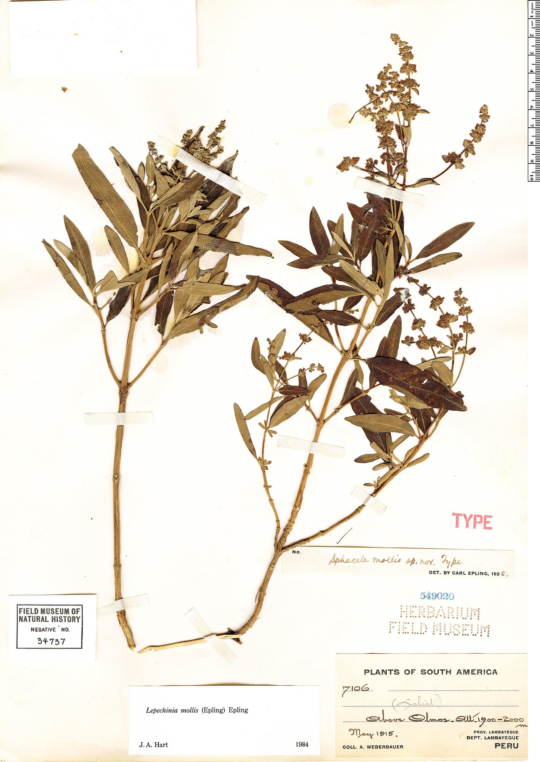 Specimen: Lepechinia mollis