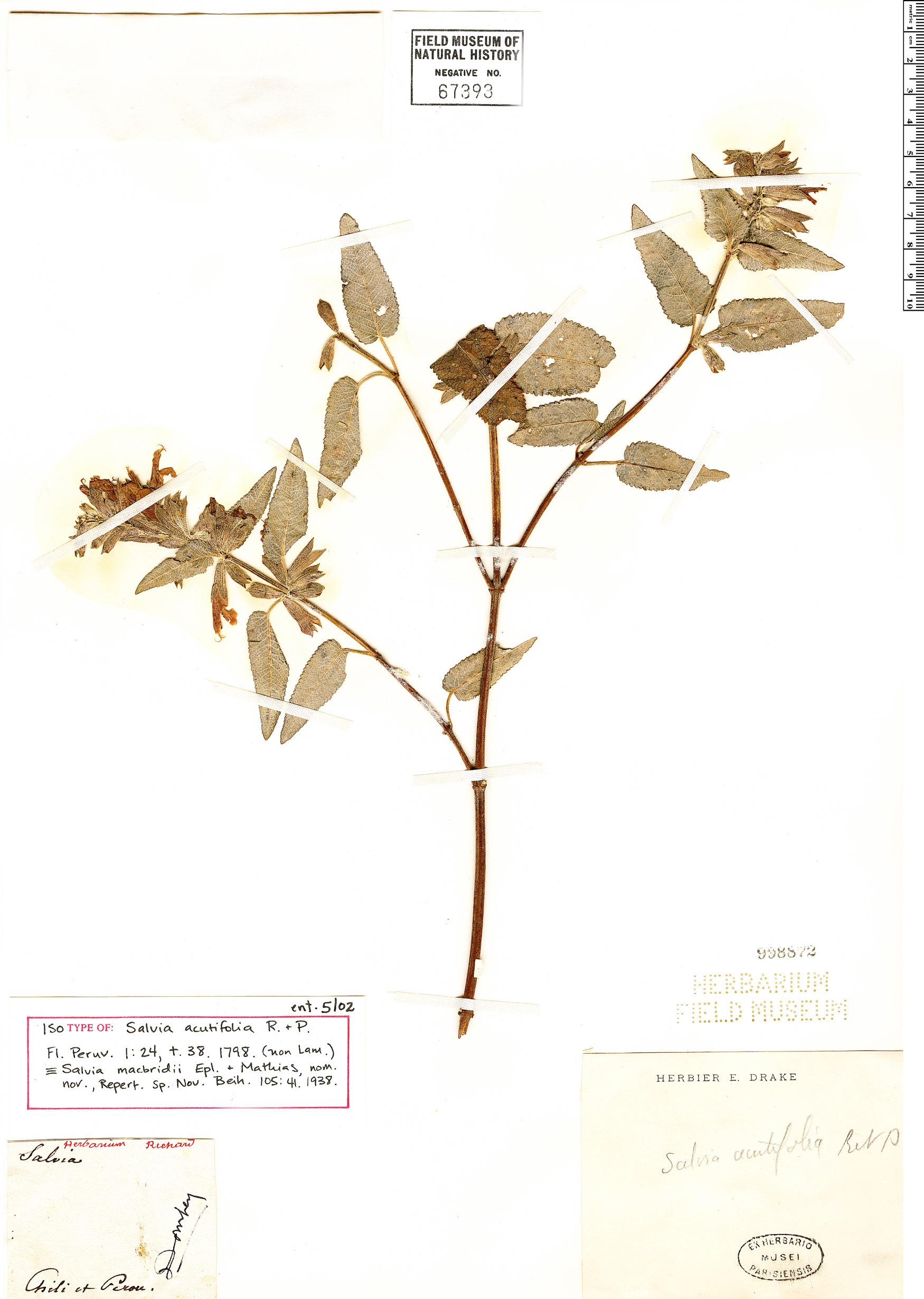 Specimen: Salvia macbridei