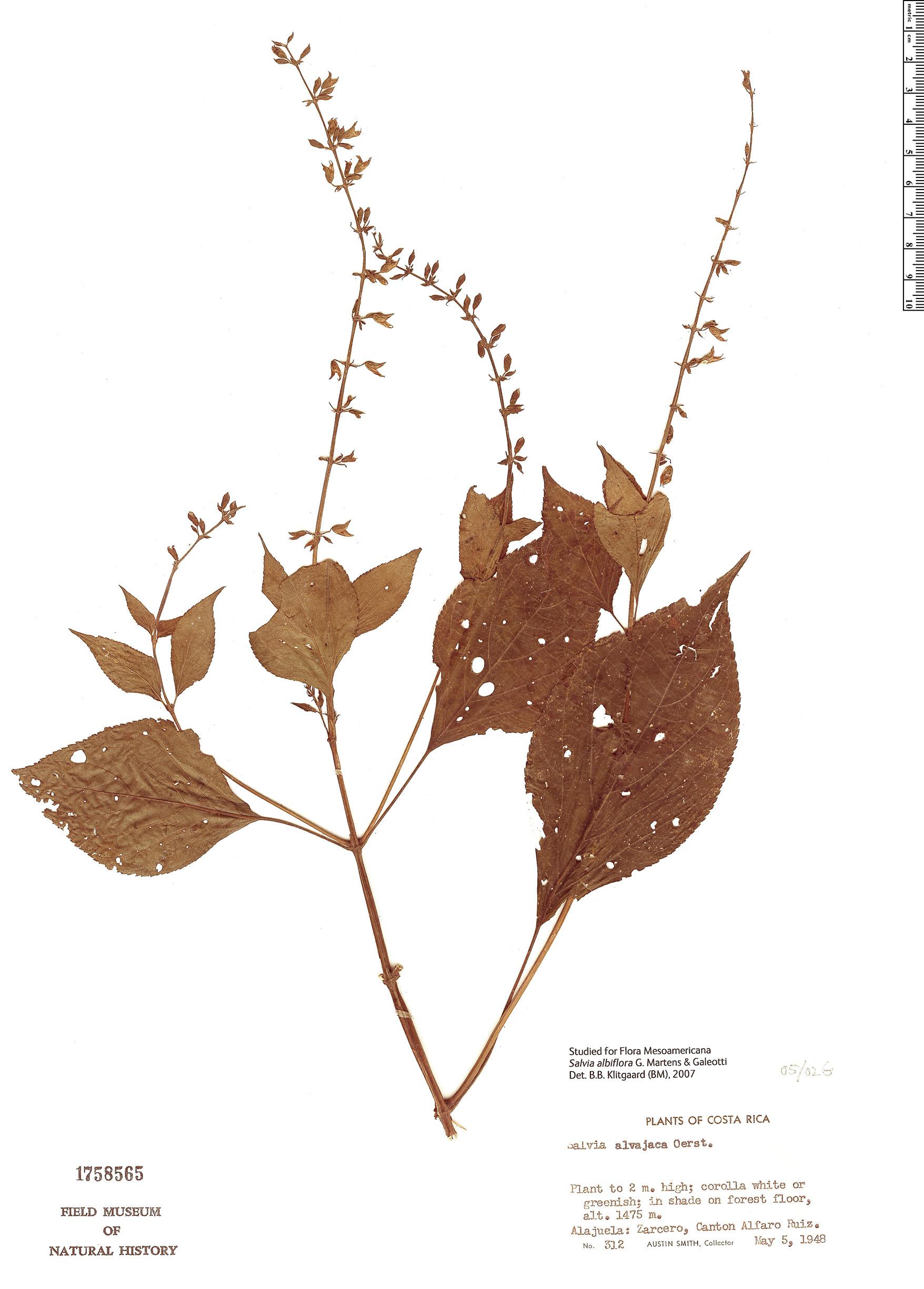 Specimen: Salvia albiflora