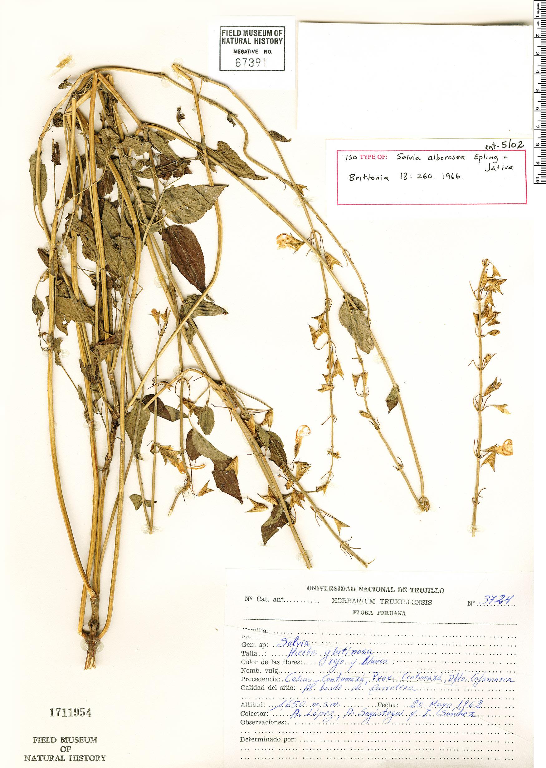 Specimen: Salvia alborosea