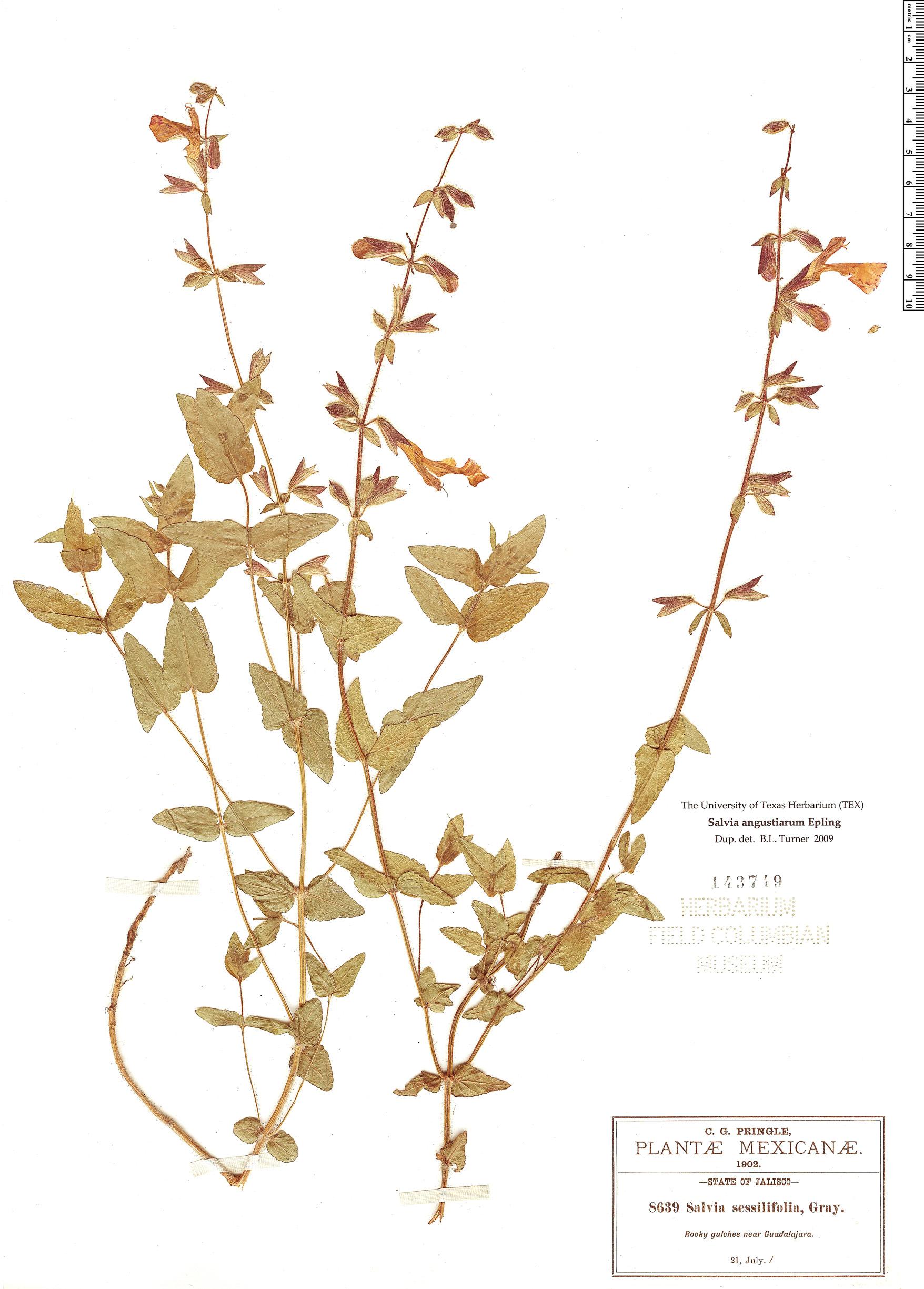 Specimen: Salvia angustiarum