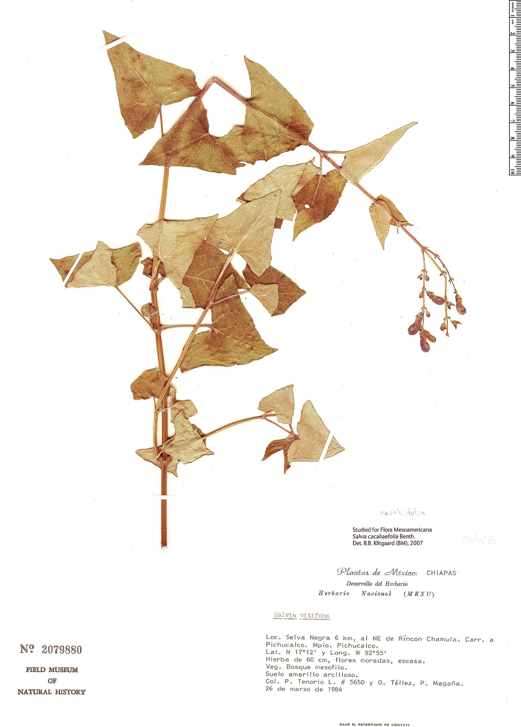 Espécime: Salvia cacaliifolia