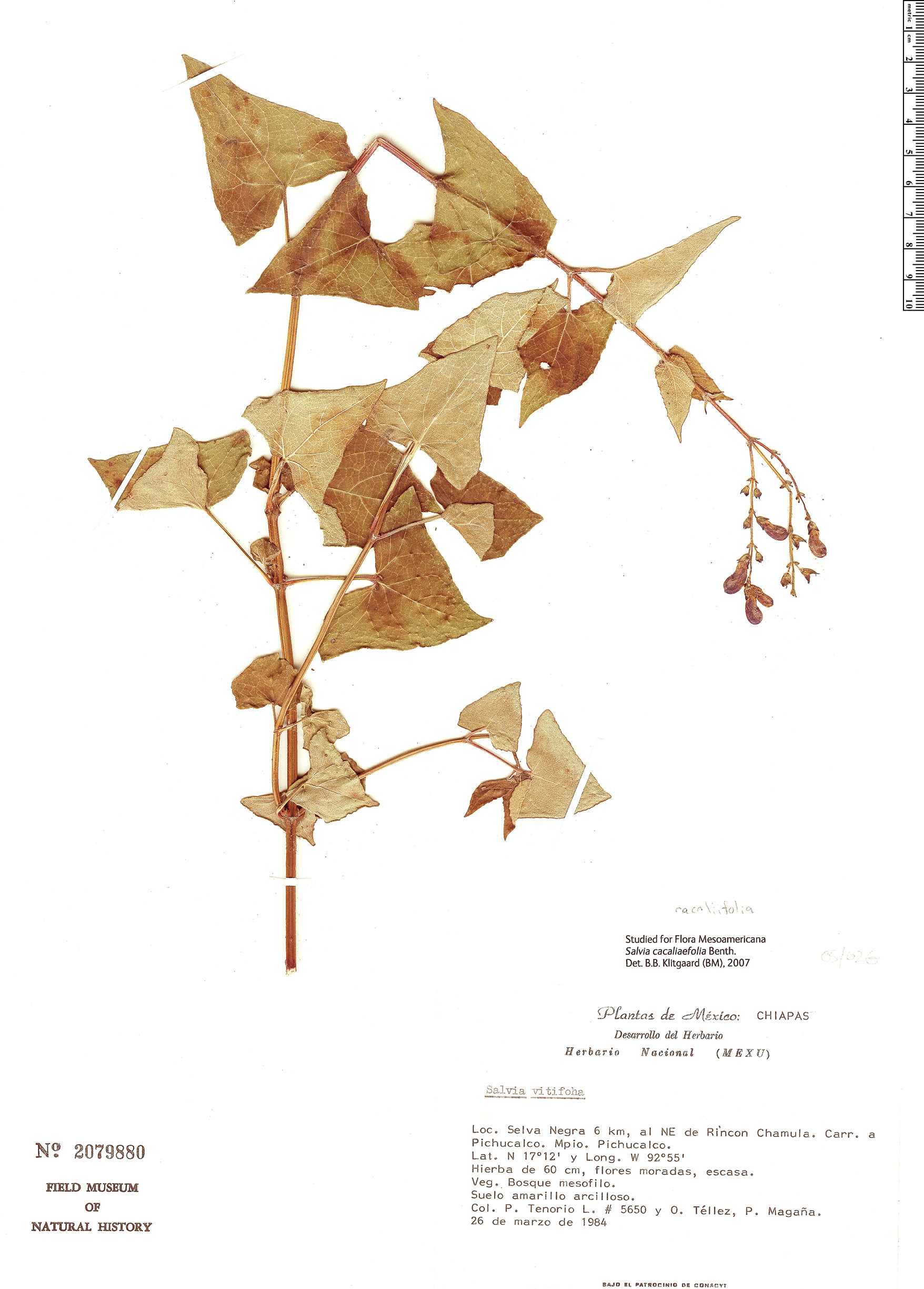 Espécimen: Salvia cacaliifolia