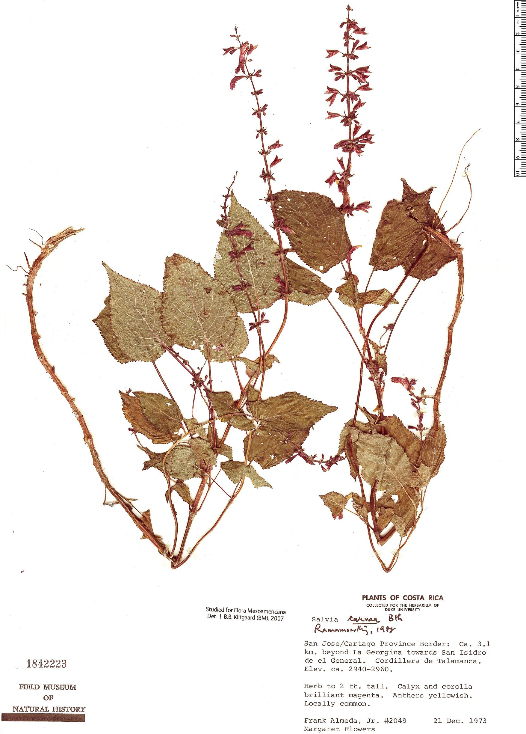 Specimen: Salvia carnea