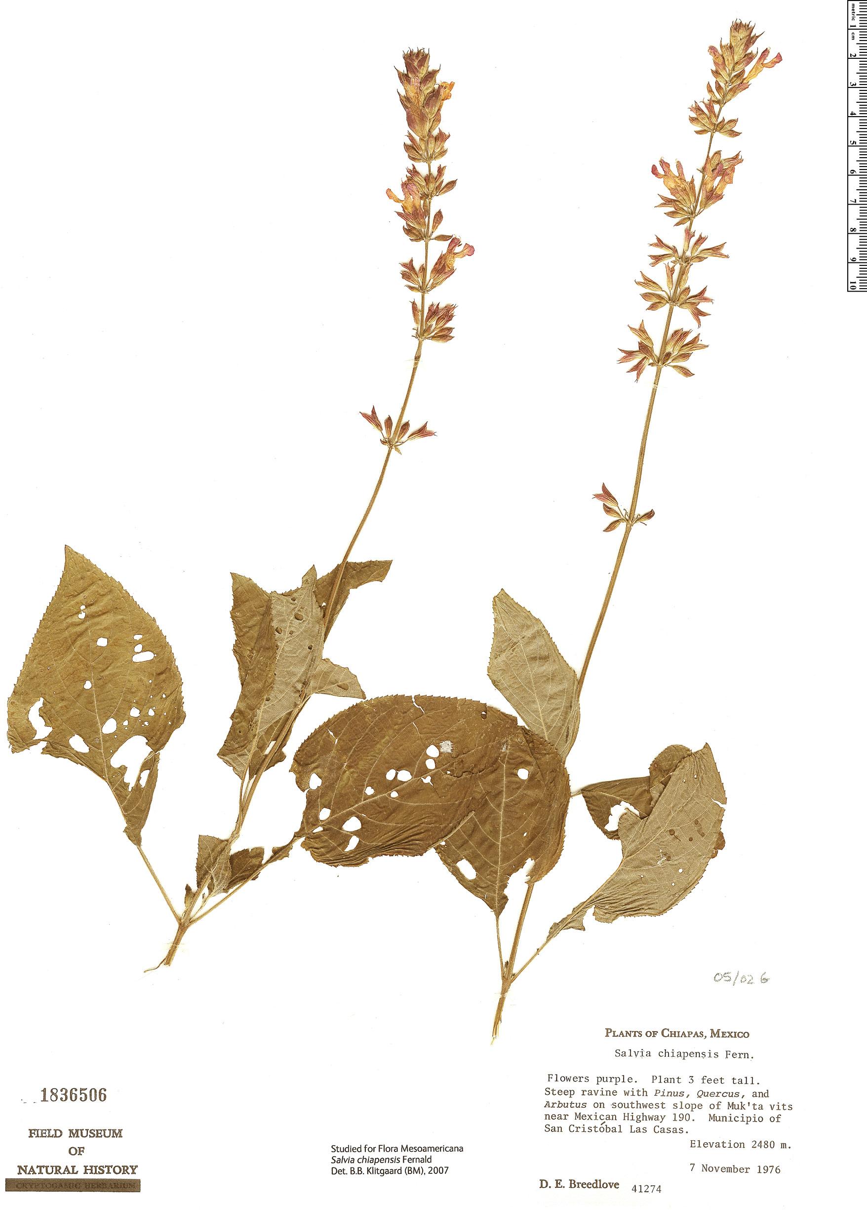 Specimen: Salvia chiapensis