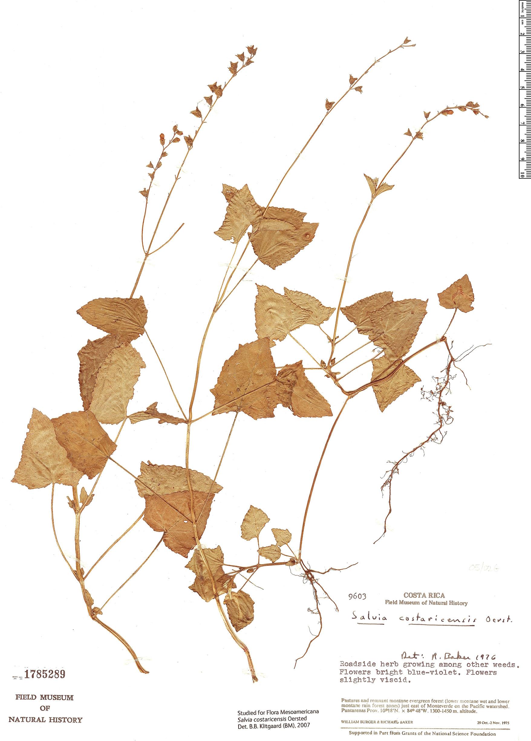 Specimen: Salvia costaricensis