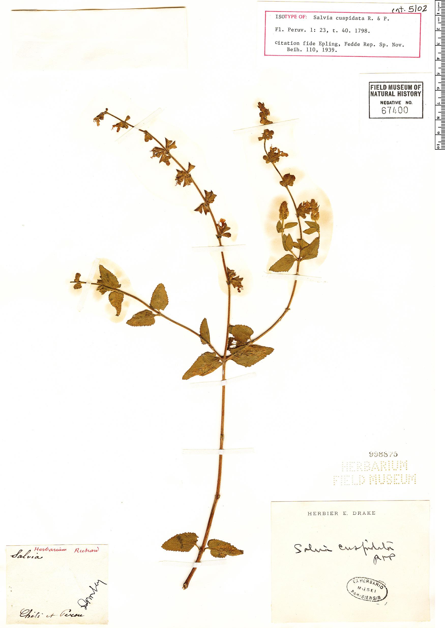 Specimen: Salvia cuspidata