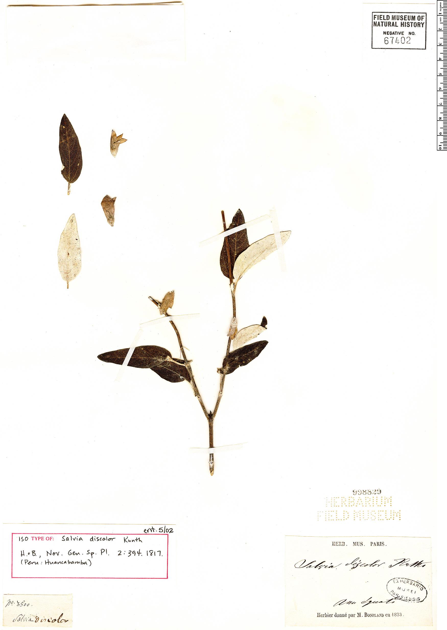 Specimen: Salvia discolor