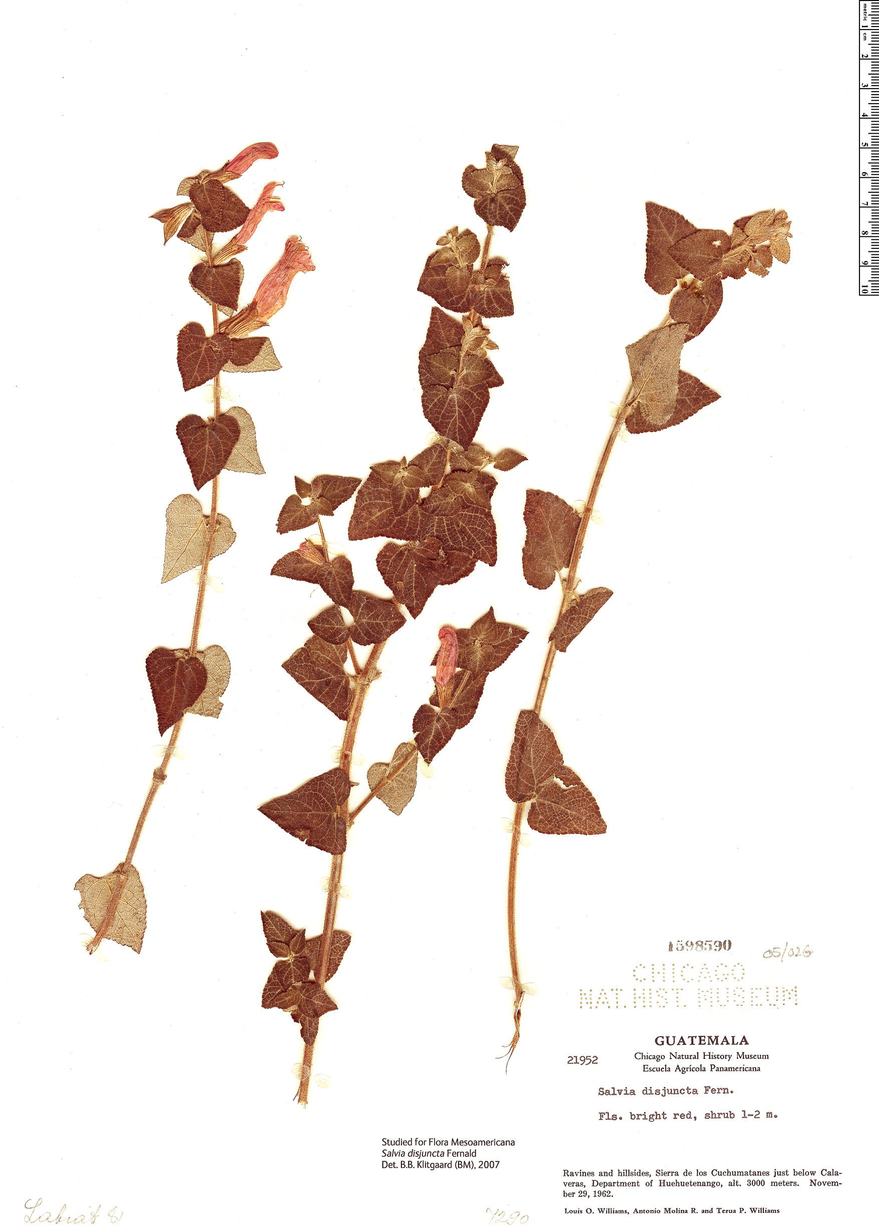 Specimen: Salvia disjuncta