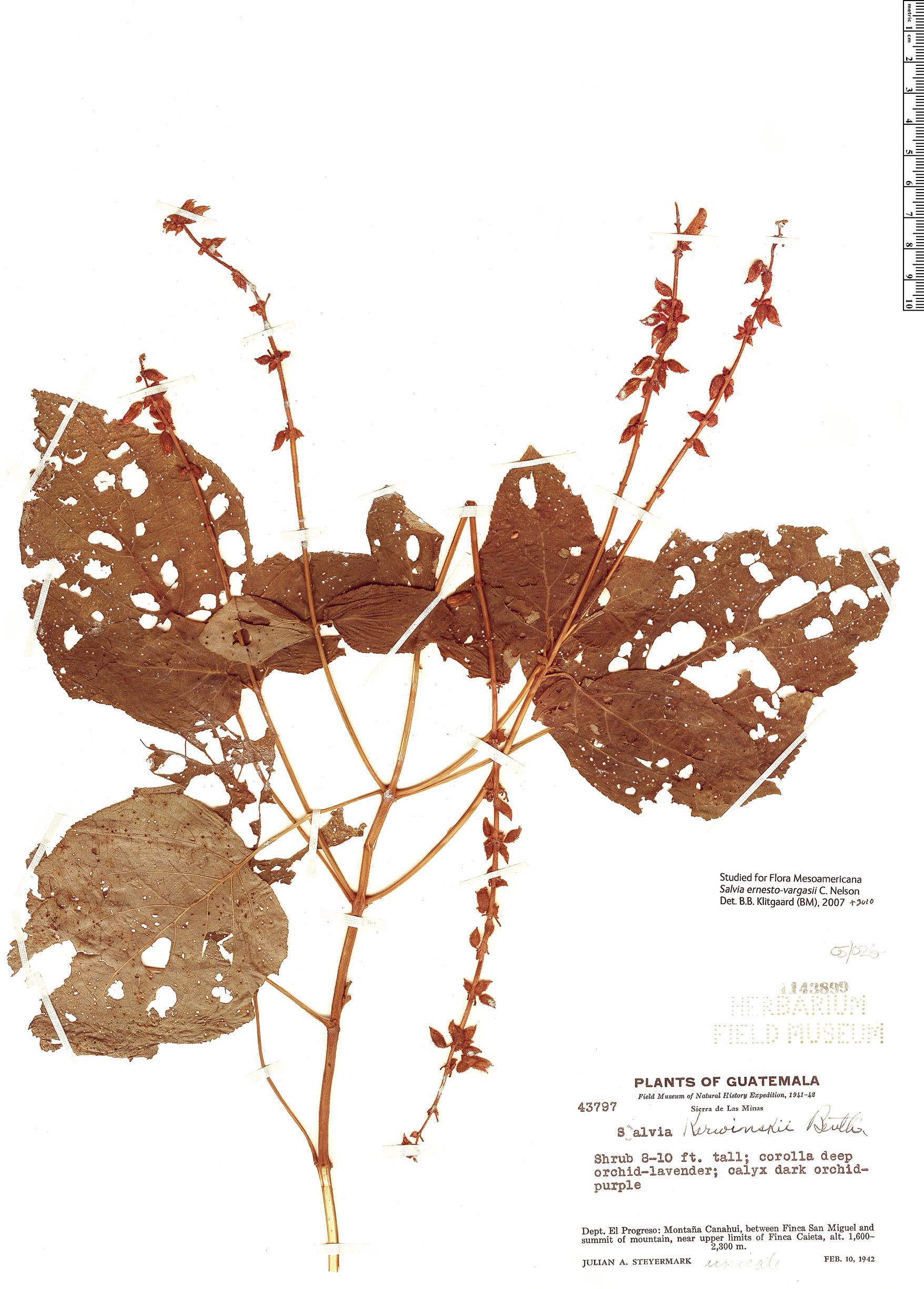 Specimen: Salvia ernesti-vargasii