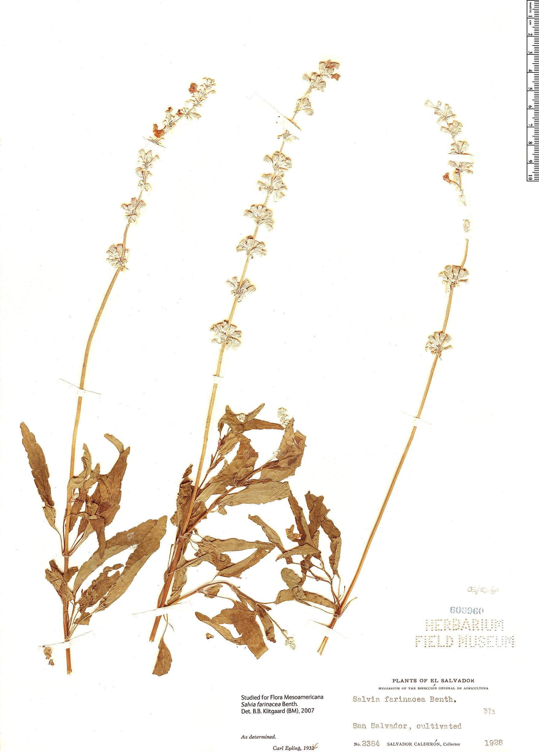 Specimen: Salvia farinacea