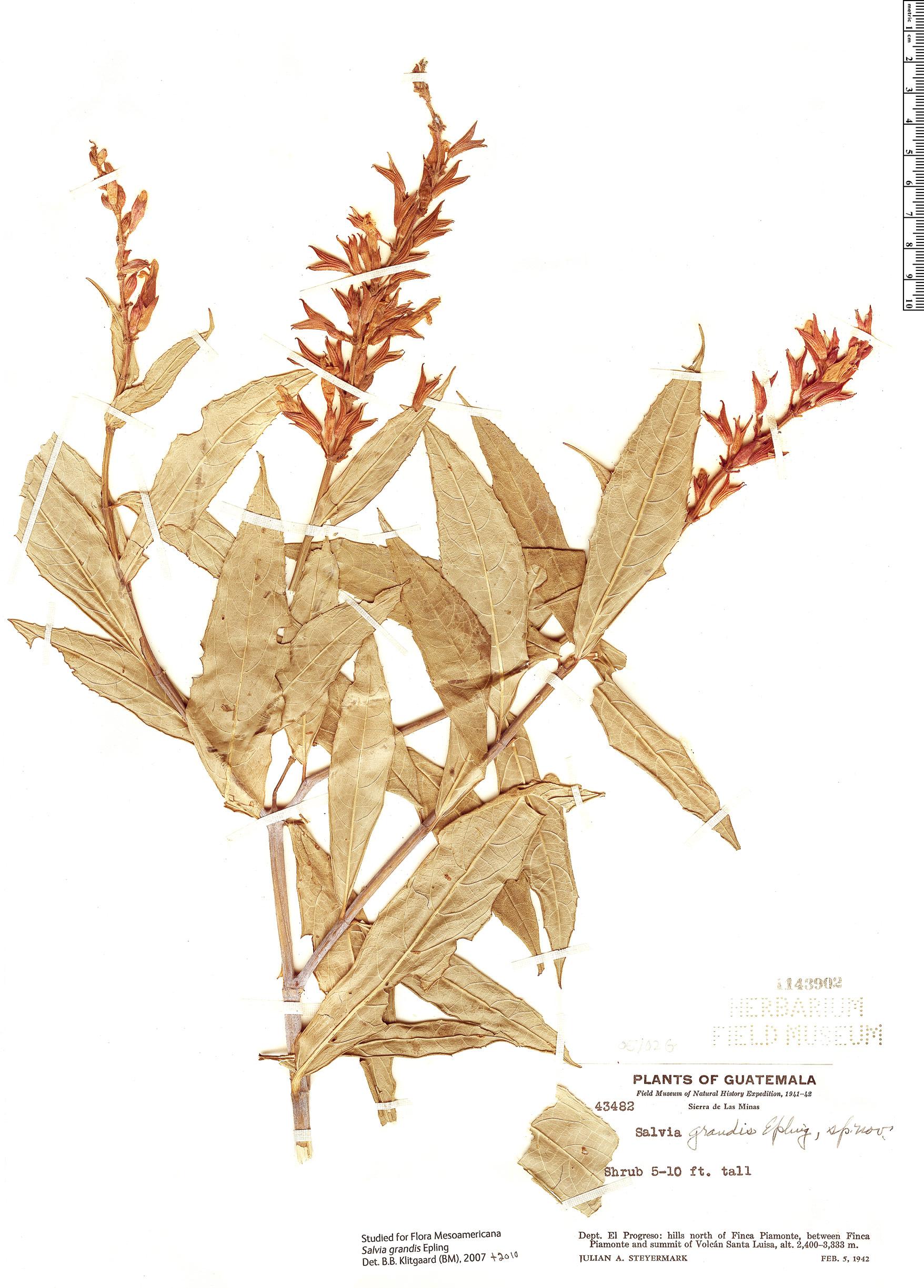 Espécimen: Salvia grandis