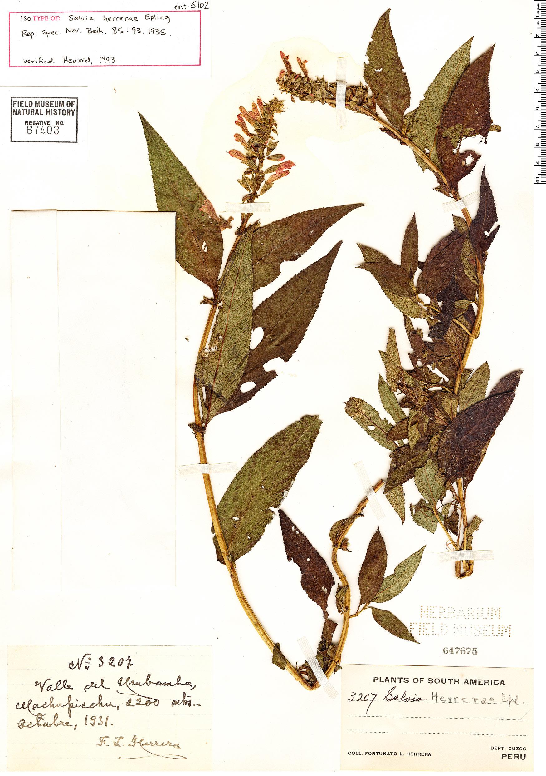 Specimen: Salvia herrerae