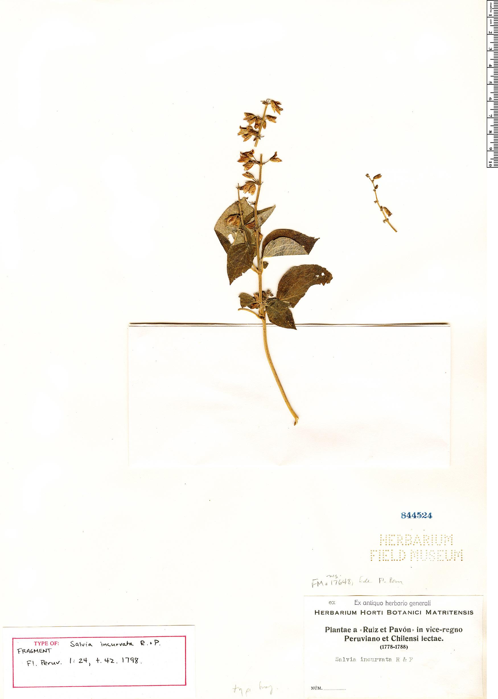Specimen: Salvia incurvata