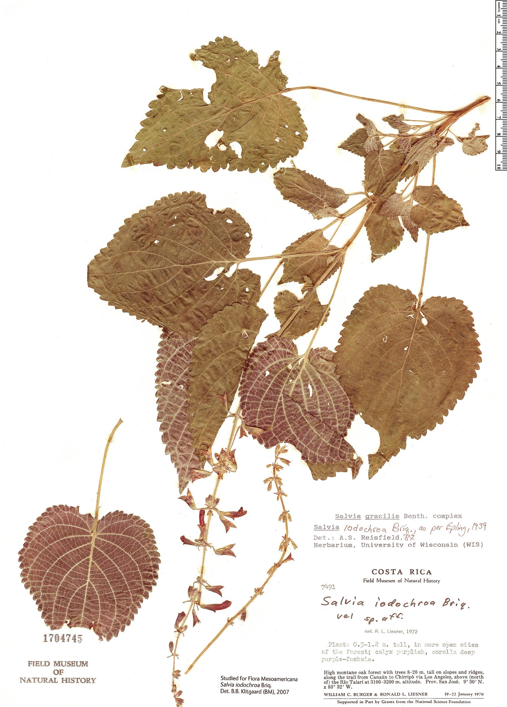 Specimen: Salvia iodochroa