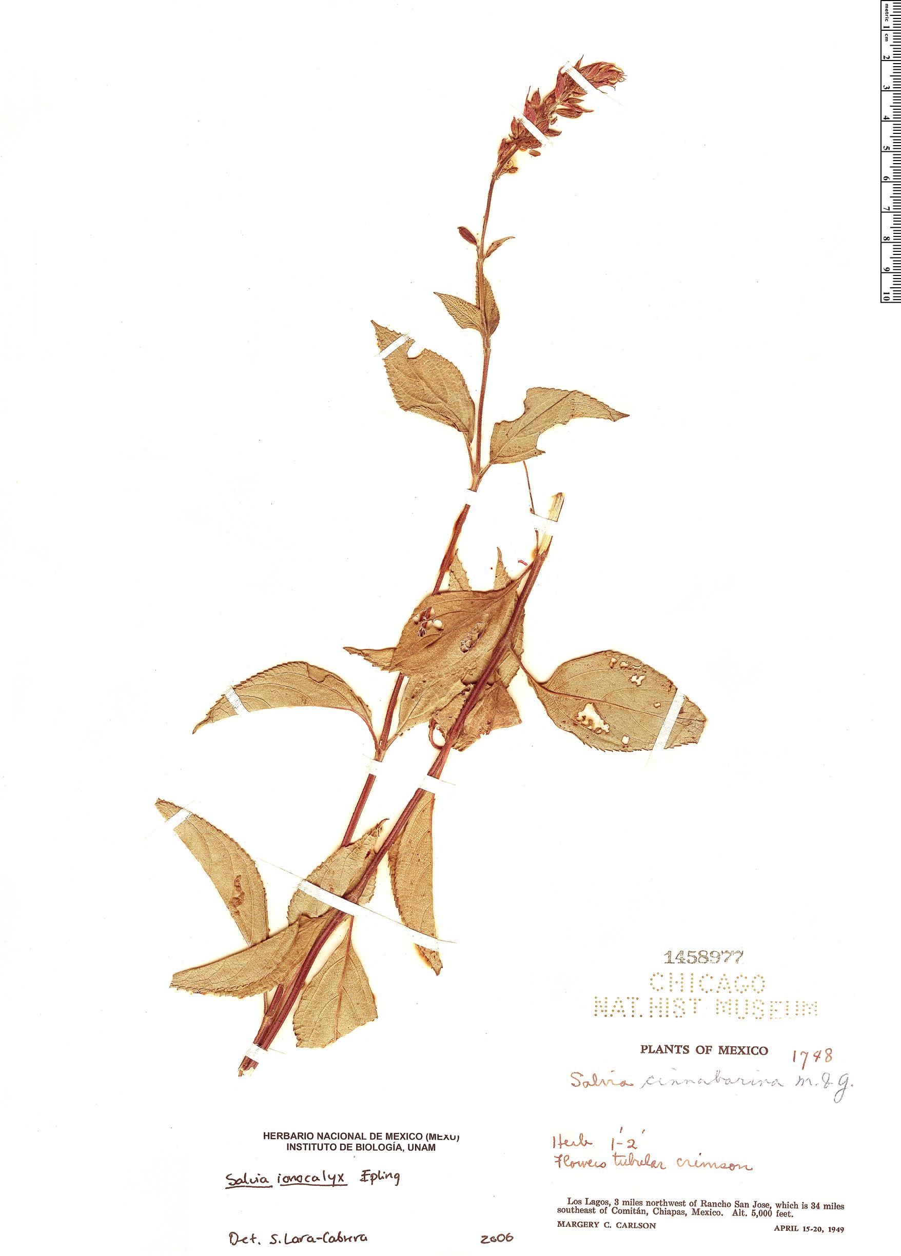 Specimen: Salvia ionocalyx