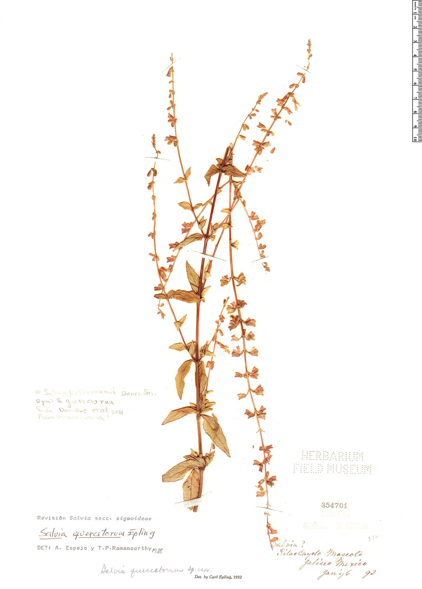 Specimen: Salvia kellermanii