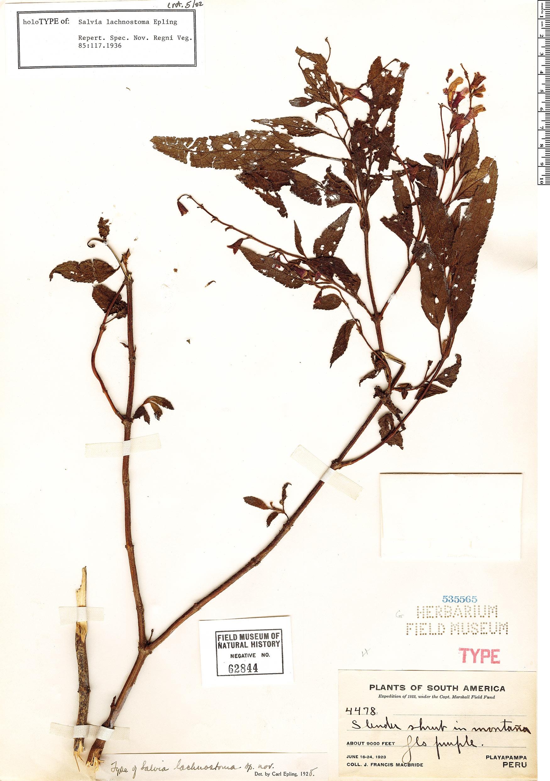 Specimen: Salvia lachnostoma
